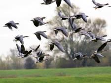Jagers raken dode ganzen niet kwijt: dan maar wildkroketten