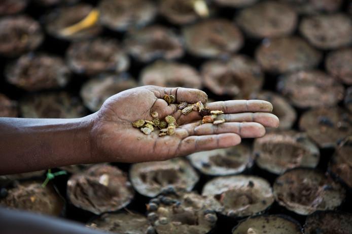 In 23 provincies van Kenia heeft de overheid de alarmfase uitgeroepen vanwege de droogte. Het Rode Kruis is bezig met een project voor het planten van droogtebestendige zaden.