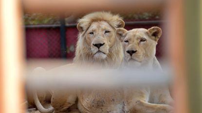 Twee tijgers en leeuw ontsnapt in dierentuin in Tsjechië