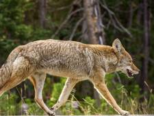 Amerikaanse vader in 'beschermingsmodus' wurgt coyote die zoontje (2) aanvalt