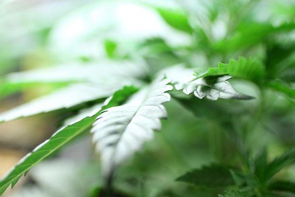 Illustratiebeeld - Een 46-jarige man uit Geraardsbergen riskeert een half jaar cel voor het kweken van cannabis.