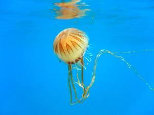 Gare aux méduses rayonnées, bientôt de retour sur la côte belge