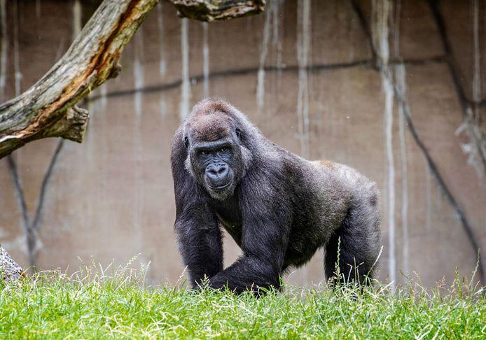 2019 FRANKRIJK: Het gorillavrouwtje Kuimba in Zoo Parc Beauval.