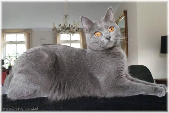 Hyacinthe is een kat van het ras chartreux. Ze wordt vermist.