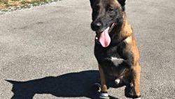 FOTO. In Zwitserland dragen politiehonden 'sokken' tegen hitte