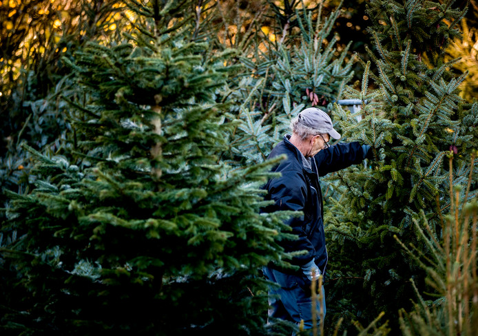 Kerstbomen van meer dan twee meter hoog doen het goed, aldus de kerstbomenkwekers.