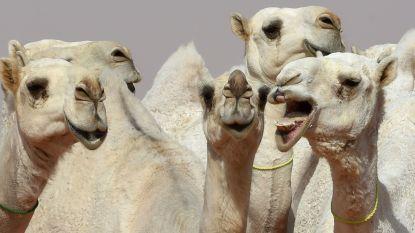 Kamelen uit Saoedische schoonheidswedstrijd gewipt omdat ze botox gebruikten
