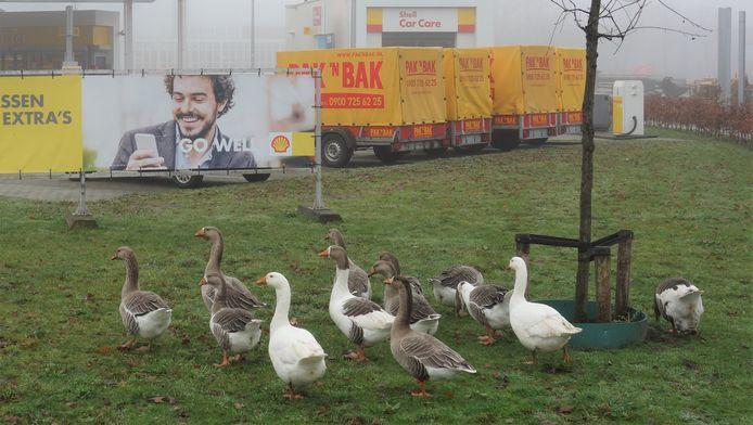 De bekende ganzenfamilie raakte in de afgelopen weken acht leden kwijt.
