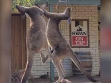 Une bagarre entre deux kangourous filmée devant un bar