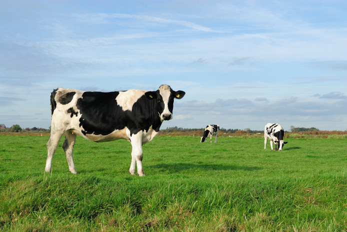 Some other pictures of cows: