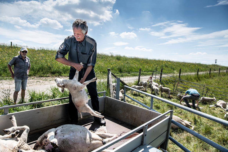Schapenboer Jos Verhulst is boos: voor de derde keer in korte tijd zijn schapen doodgebeten.