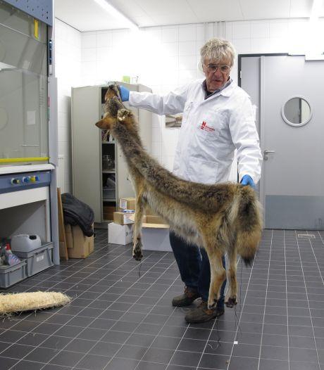 Bas Perdijk maakte dode Veluwse wolf klaar voor museum (en ontdekte iets bijzonders in zijn vacht)