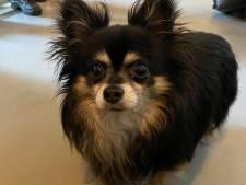 Chihuahua Skittle werd bang en eenzaam achtergelaten in een bench