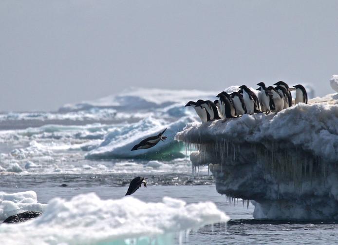 Pinguïns duiken van het ijs bij een van de Danger-eilandjes.