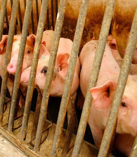 Eerste acht varkensbedrijven Meierijstad sluiten, dit jaar mogelijk nóg tien meer