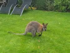 Wallaby hopt erop los: 'Niet iets wat we elke dag meemaken'