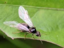 Op zoek naar een partner nemen vliegende mieren voor één dag de regio over