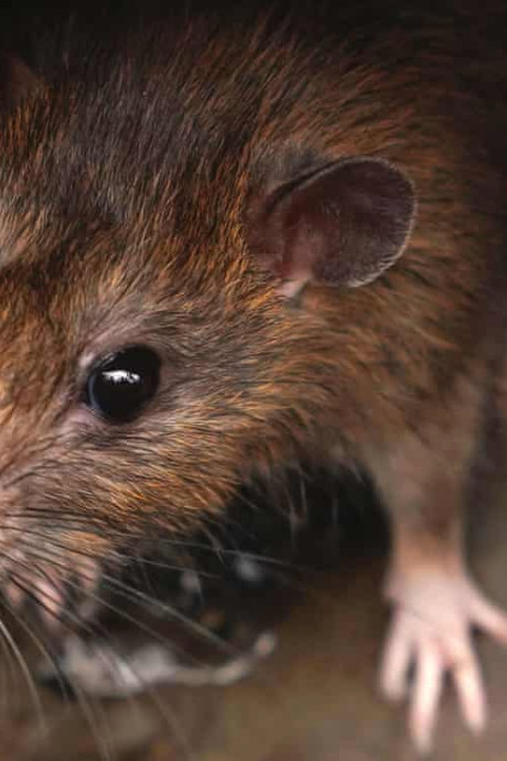 Waar zit de rat in jouw stad? Nieuw meldpunt moet overlast bestrijden