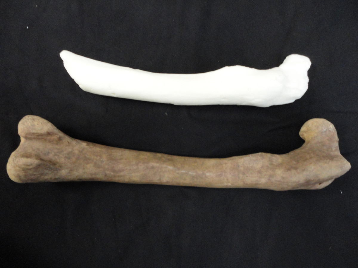 Het witte bot is een 3D-print uit Londen. Het bruine bot is een replica dat Aart Walen maakte.