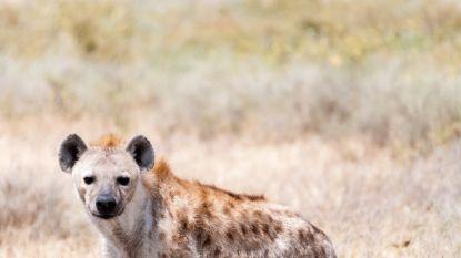 Hyena's van bevoorrechte families worden minder ziek