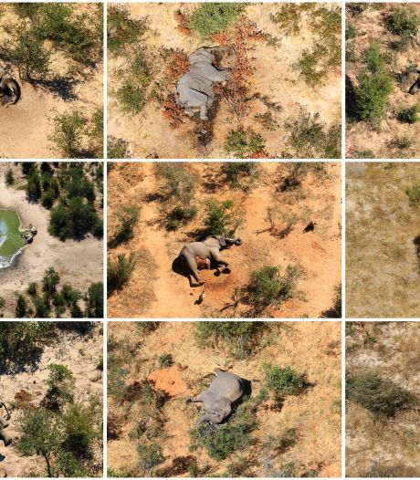 Blauwalg oorzaak massale olifantensterfte Botswana
