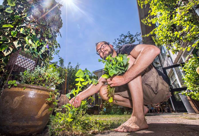 Aan tafel.Wildplukker Edwin Cornelissen.Hier plukt hij wat 'Gewone Melkdistel'.(Den Haag 04-07-18) Foto:Frank Jansen