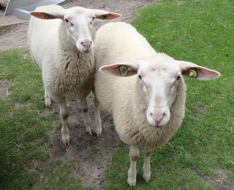De schapen staan al klaar om geschoren te worden. Beeld Kinderboerderij De Pijp
