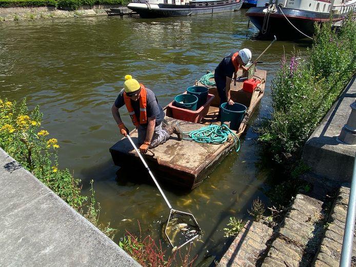 Met bootjes werd de vis uit het water gehaald in Brugge.