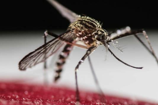 De Aedes aegypti-mug