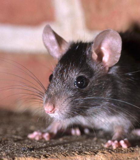 Veel klachten over rattenplaag in Ommoord: 'Er wordt weinig of niet gecontroleerd'