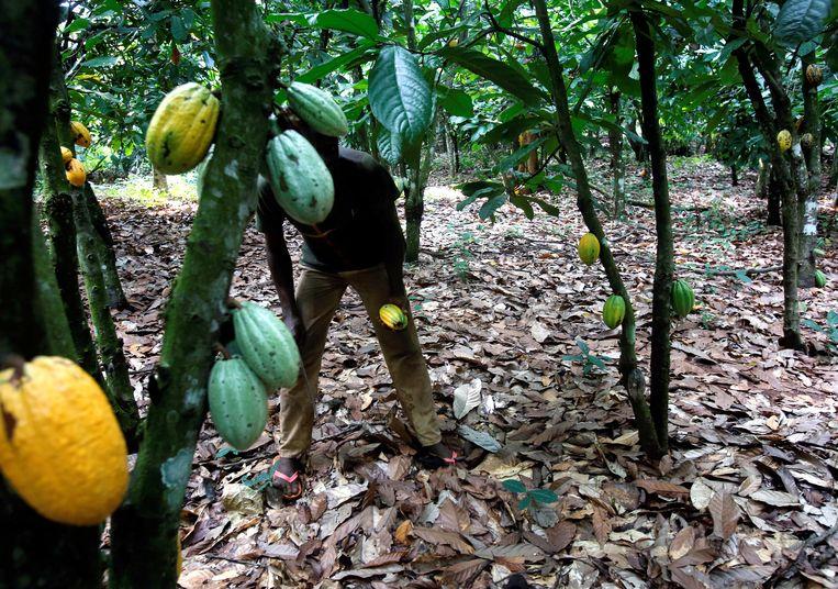 Een cacaoboer in zijn plantage in Ivoorkust. Beeld REUTERS