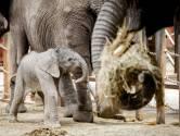 VIDEO: Beeks olifantje Madiba viert haar eerste verjaardag
