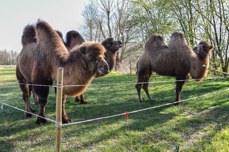 Ja ze zijn er echt, dit trio kamelen op de sportcampus van Sint-Gillis-Dendermonde.