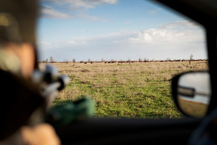 Staatsbosbeheer is begonnen met het terugbrengen van het aantal edelherten in de Oostvaardersplassen.