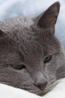 Dodelijke en zeer besmettelijke kattenzieke opgedoken in regio