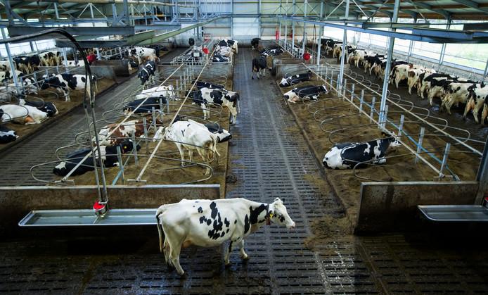 Koeien in de stal bij een melkveehouderij: niet alleen melk, maar ook mest.