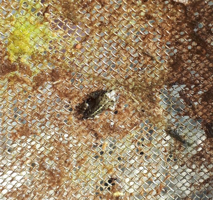 Een Middelburgse rugstreeppad, mogelijk pas één dag oud