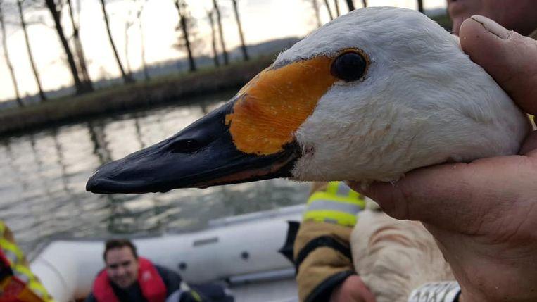 De brandweer kon deze gewonde zwaan vangen en laten verzorgen.