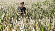 Hasseltse landbouwers kunnen schade melden tot eind augustus