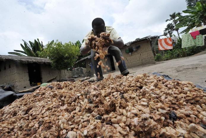 Een Afrikaanse boer inspecteert zijn cacaobonen.