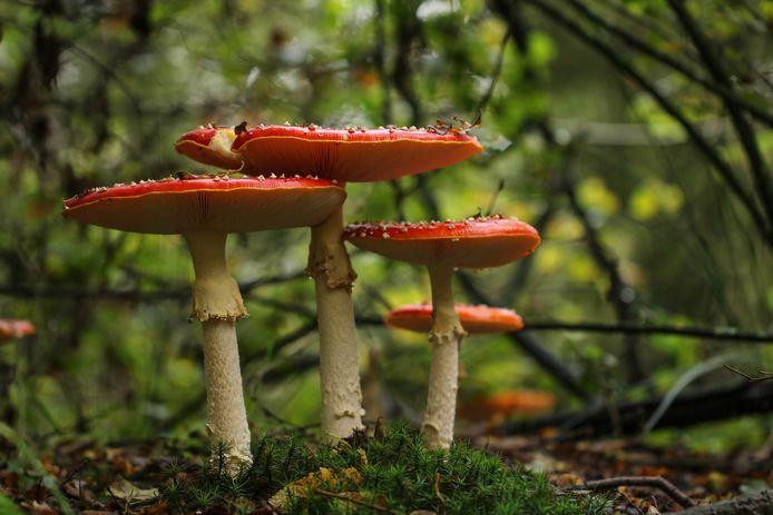 De Amanita muscaria is voor velen dé ultieme sprookjespaddenstoel.