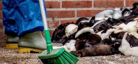 Coronavirus bij nertsenfokkerij in Rijkevoort: 12.500 dieren worden geruimd