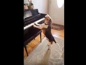 Beagle zingt terwijl hij piano speelt