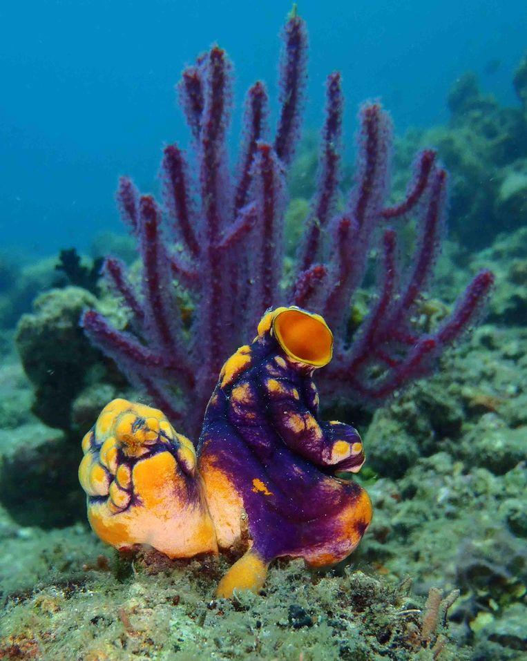 Paars zeebeest (Polycarpa aurata) Beeld Lisa Becking