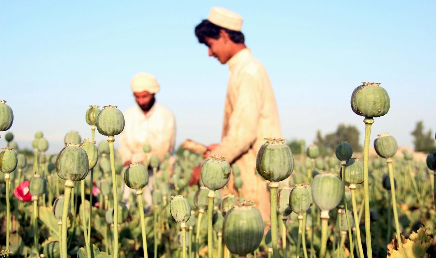 Afghaanse boeren oogsten op een papaverveld opium.