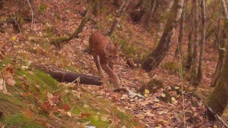 De lynx in de Ardennen, vastgelegd via een wildcamera. Beeld MAARTEN CUVELIER / WELKOMLYNC.BE