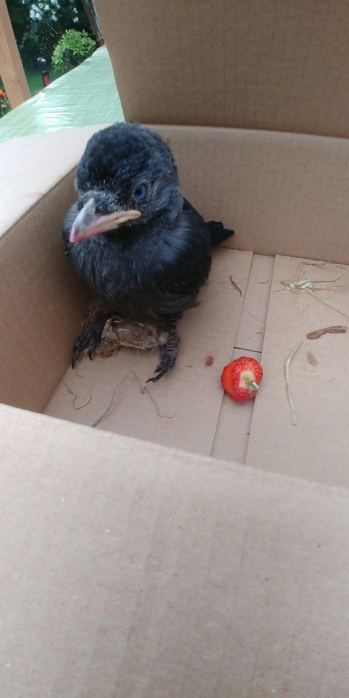 Vogel Kauw