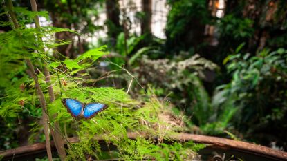 VIDEO. Vlinderpoppen zorgen voor prachtig schouwspel in Zoo Antwerpen