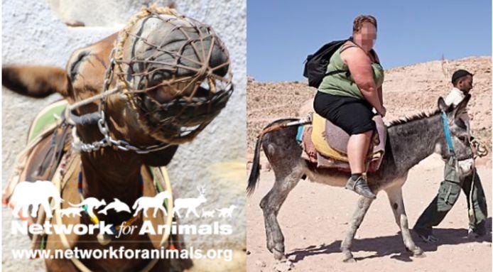 De ezels lopen zware rugletsels op door te zware toeristen.