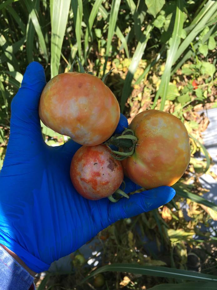 Het tomato brown rugose fruit virus (ToBRFV) speelt bij meerdere tomatentelers in het Westland.